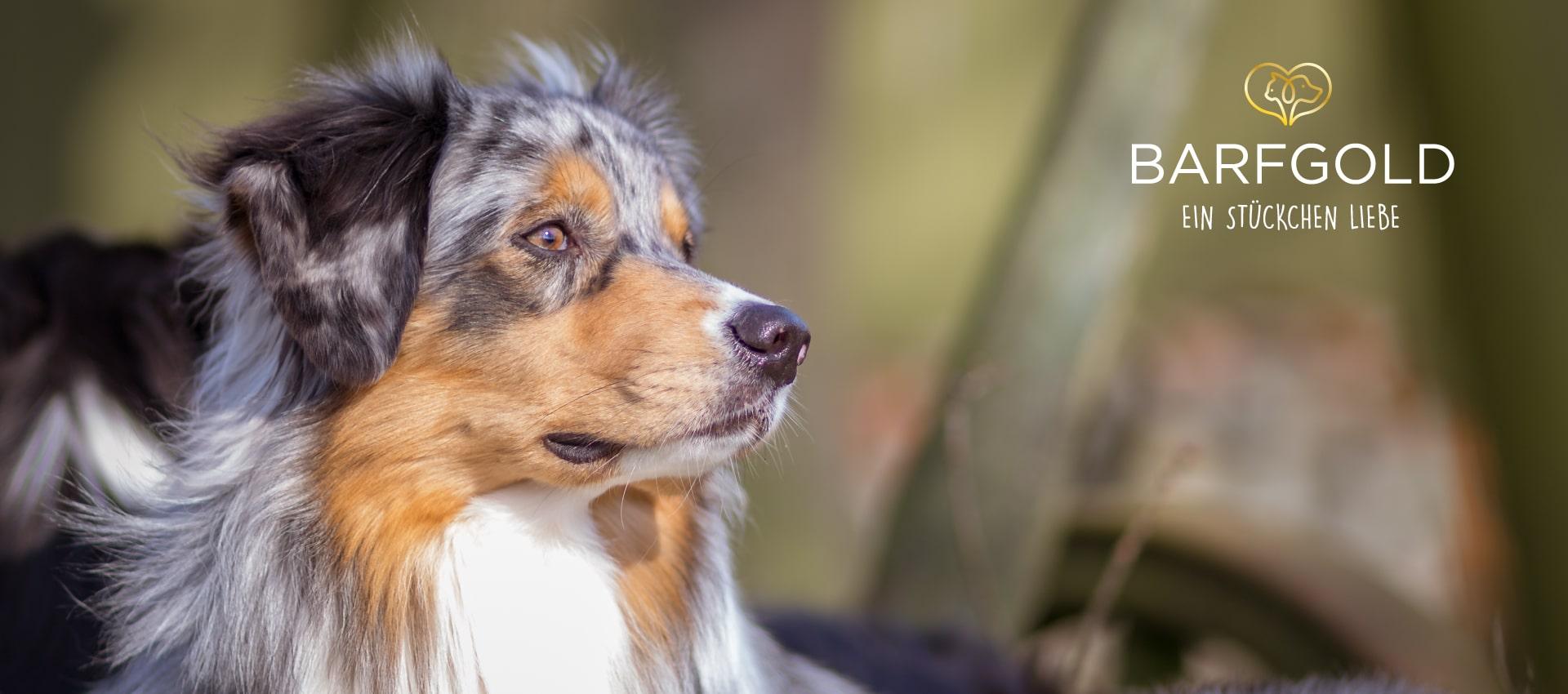 Foto eines Hundes mit BARFGOLD-Logo